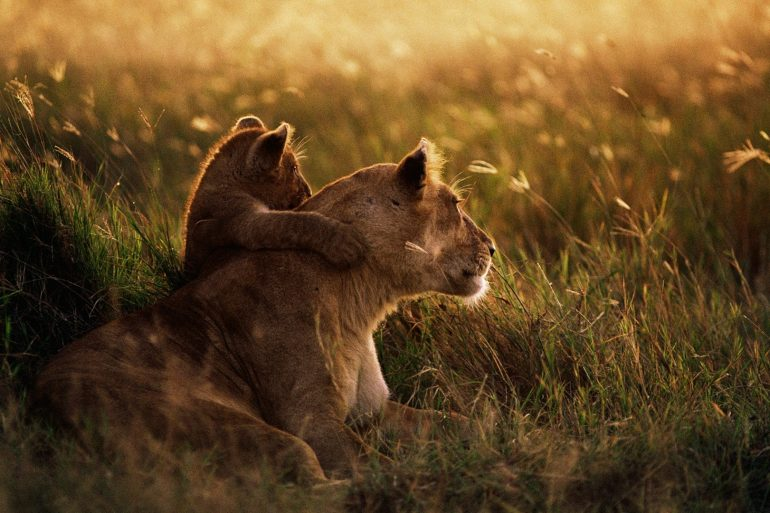 jak lwica swe