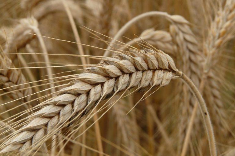 Cornfield Field Grain Rye Field Cereals Rye Spike